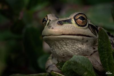 Motorbike Frog, Western Australia