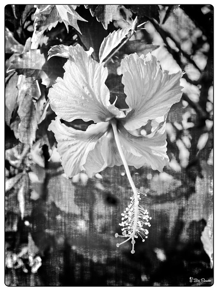 Faux black and white film-look rendering of flower growing in the landscape along the beach in Palm Cove, Queensland, Australia. Raw development and processing in ON1 Photo RAW 2019.2 (texture: fibers; Black & White: Infrared).Olympus PEN-F, Olympus M.Zuiko Digital ED 30mm f/3.5 Macro, 30mm, f5.6, 1/160 sec, 200 iso. Photo © Copyright Bob Shrader.