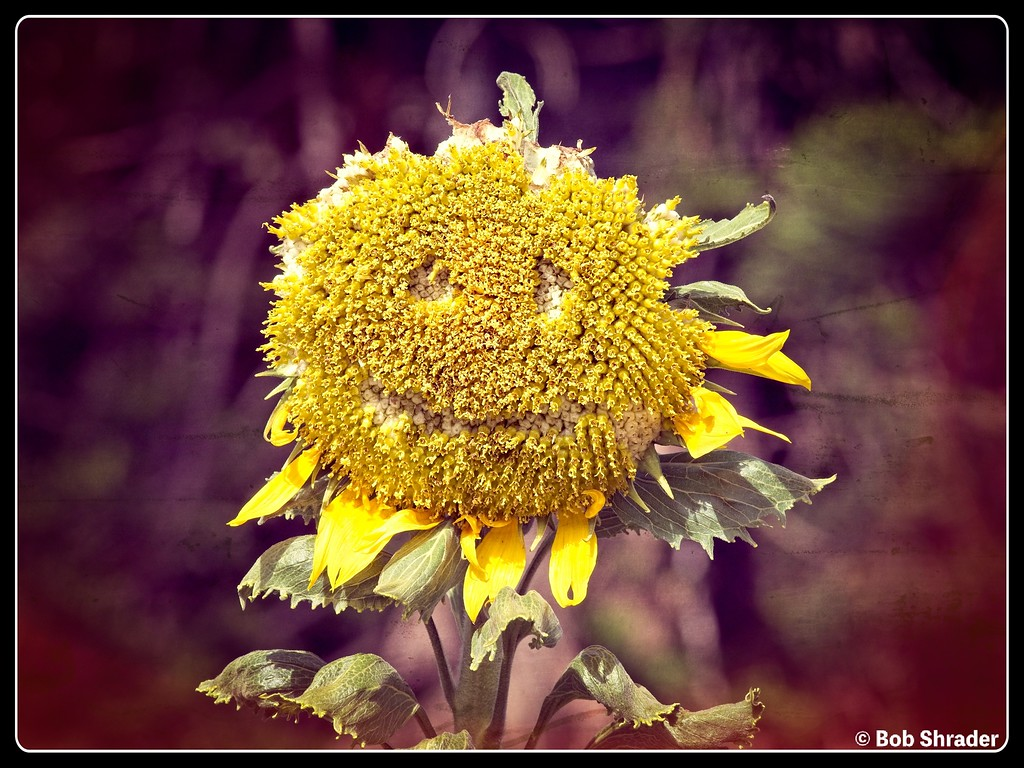 Sad-Looking Sunflower