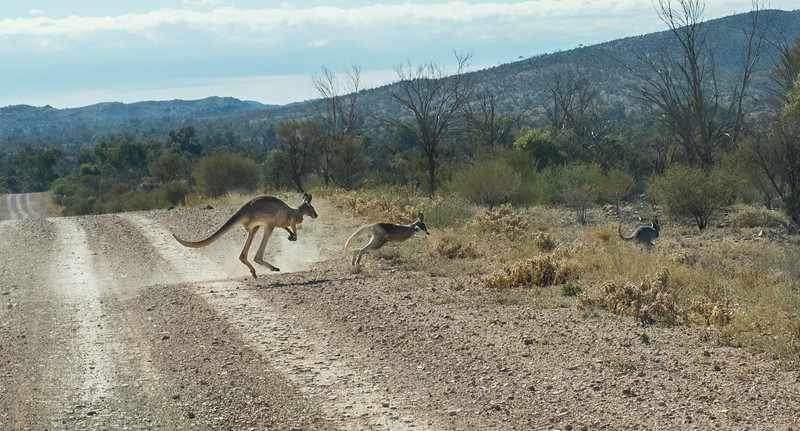 As we traveled on, we encountered this group of kangaroos.