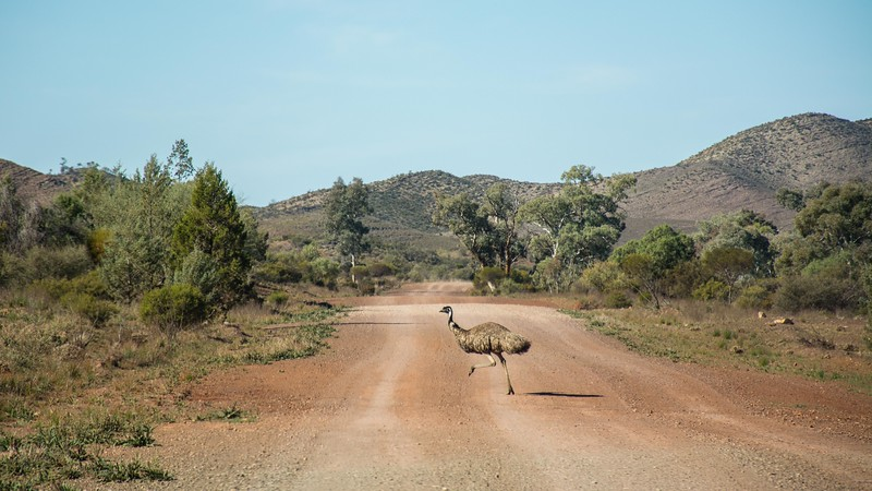 with no lack of emus to keep us company.