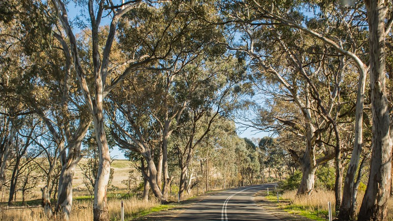 Finally leaving Melbourne, we headed north into the countryside; Kathy was immediately charmed by the various eucalypts lining the roadsides.
