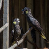 we saw lots of familiar species -- these are a type of yellow-tailed black cockatoos.  Quite fun to watch.