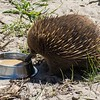 This is an echidna, a rather attractive one (unless you think that's an oxymoron).  It was here at the sanctuary because it had been injured and had lost the ability to use its nose to snuff up the bugs it eats; he is recovering nicely and will go back out into the wild.