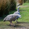 And then we arrived at Natureworld.  These geese were quick to come and investigate us,