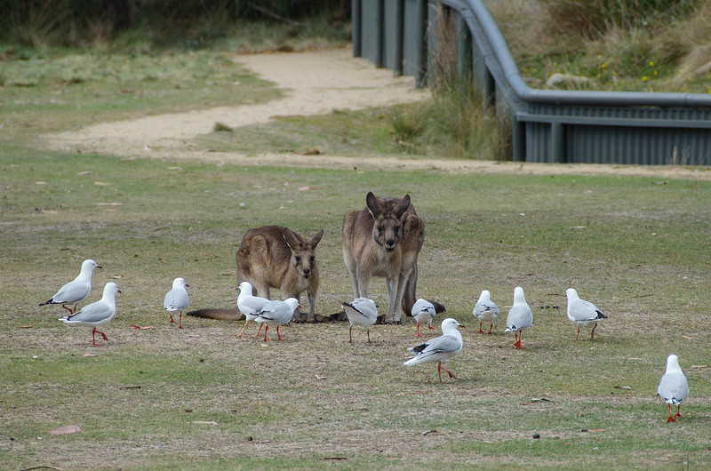 along with the kangaroos; the birds on patrol were very seriously marching back and forth.  Quite a place!