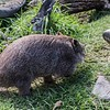 The guide would move further on, immediately followed by the wombat, hot on his trail.