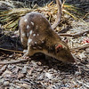 This is a spotted quoll.
