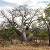 We had lots of opportunities to enjoy boab trees...