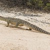 he took exception to us and wandered off, but did allow for several nice photos.  Identified by others as a goanna.