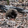 If you've not seen one, this is an echidna.