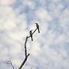 Au 2882 Rainbow Bee-eater