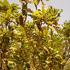 Au 3059 Banksia dentata