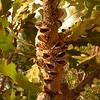 Au 3058 Banksia dentata