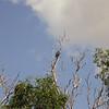 Au 2765 White-bellied Sea-Eagle