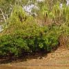 Au 2370 Pandanus spiralis en  Barringtonia acutangula