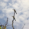 Au 2885 Rainbow Bee-eater