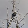 Au 2763 White-bellied Sea-Eagle