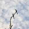 Au 2883 Rainbow Bee-eater