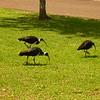 Au 2340 Straw-necked Ibis