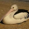 Au 1835 Australian Pelican