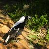 Au 0527 Australian Magpie