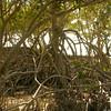 Au 2064 Broome, mangrovebos