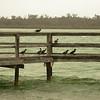 Au 0820 Great Cormorant, Lake Clifton