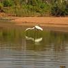 Au 2141 Great Egret