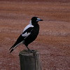 Au 0635 Australian Magpie