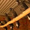 Au 1752 Long-billed Black-Cockatoo