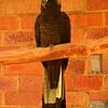 Au 1750 Long-billed Black-Cockatoo