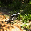 Au 0526 Australian Magpie
