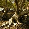 Au 2067 Broome, mangrovebos