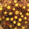 Au 1269 indet Asteraceae