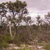 Au 0971 Banksia laricina & burdettii in Moore River NP