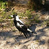 Au 0523 Australian Magpie