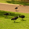 Au 2341 Straw-necked Ibis