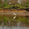 Au 2140 Great Egret