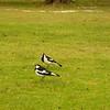 Au 0947 Magpie-lark