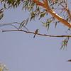 Au 2219 Rainbow Bee-eater