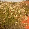 Au 1997 Pityrodia loxocarpa