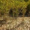 Au 2057 Broome, mangrovebos