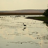 Au 2325 Black-necked Stork