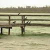 Au 0819 Great Cormorant, Lake Clifton