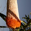 Au 1664 Banksia prionotes