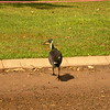 Au 2343 Straw-necked Ibis