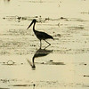 Au 2326 Black-necked Stork