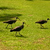 Au 2338 Straw-necked Ibis