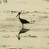 Au 2327 Black-necked Stork